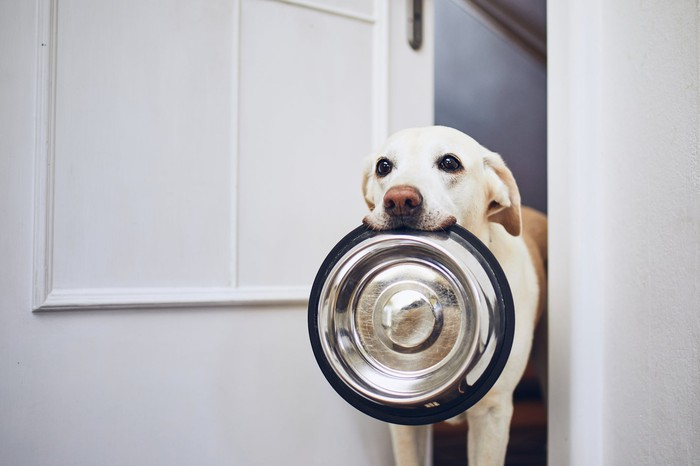 Dog carrying a dog food bowl in his mouth and looking ready to chow down.